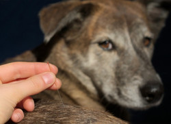 acupuncture-pets-dogs
