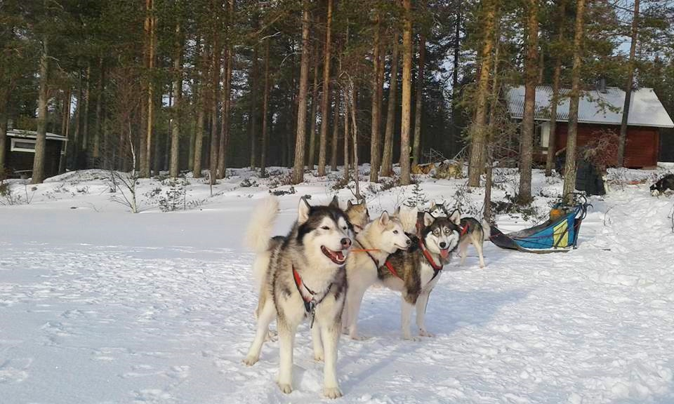 winter sled dogs