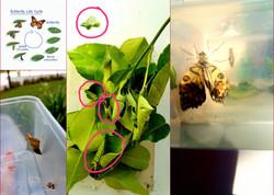 Raising Butterflies from Larvae