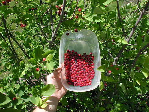 serviceberry container.JPG