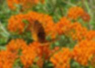 ButterflyMilkweed_sm.jpg