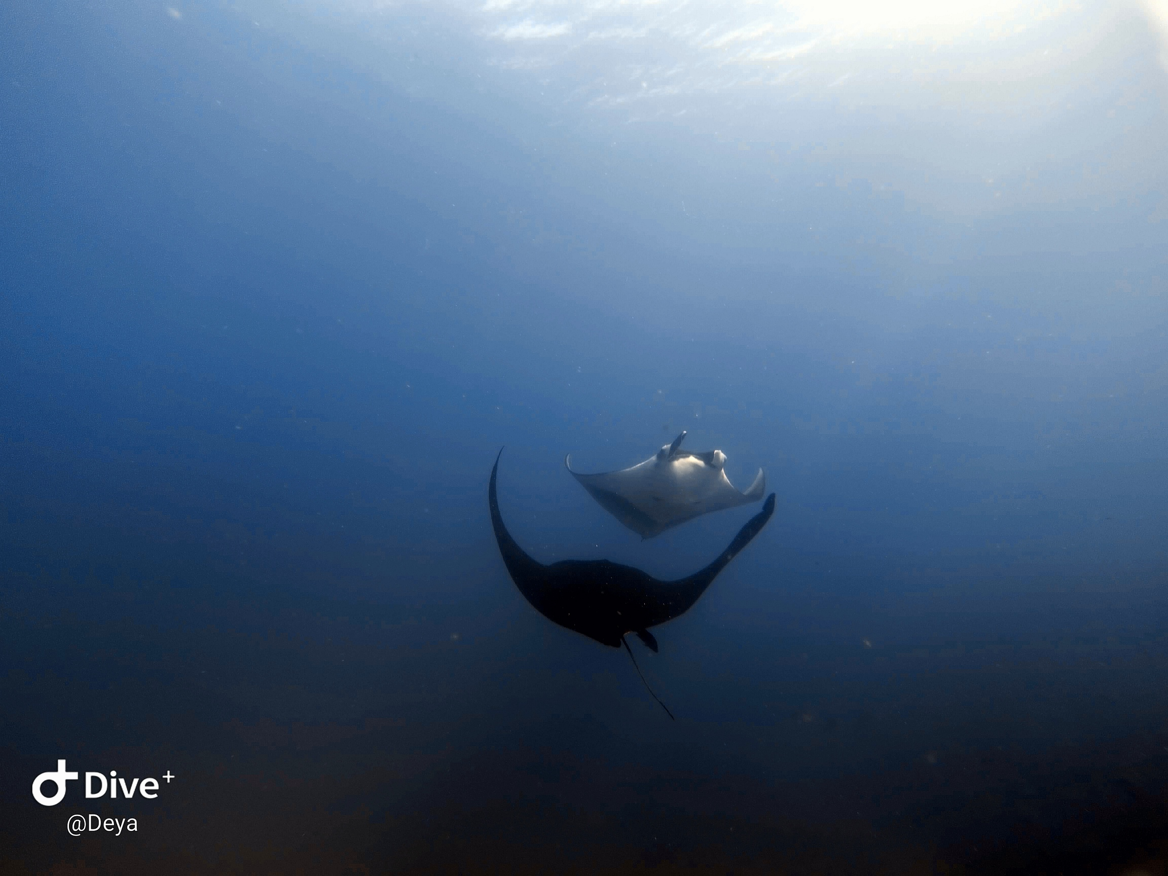 Manta in Scuba Diving tour in Cano Island, Drake Bay