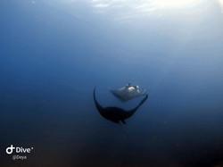 Manta in Scuba Diving tour in Cano Island, Drake Bay