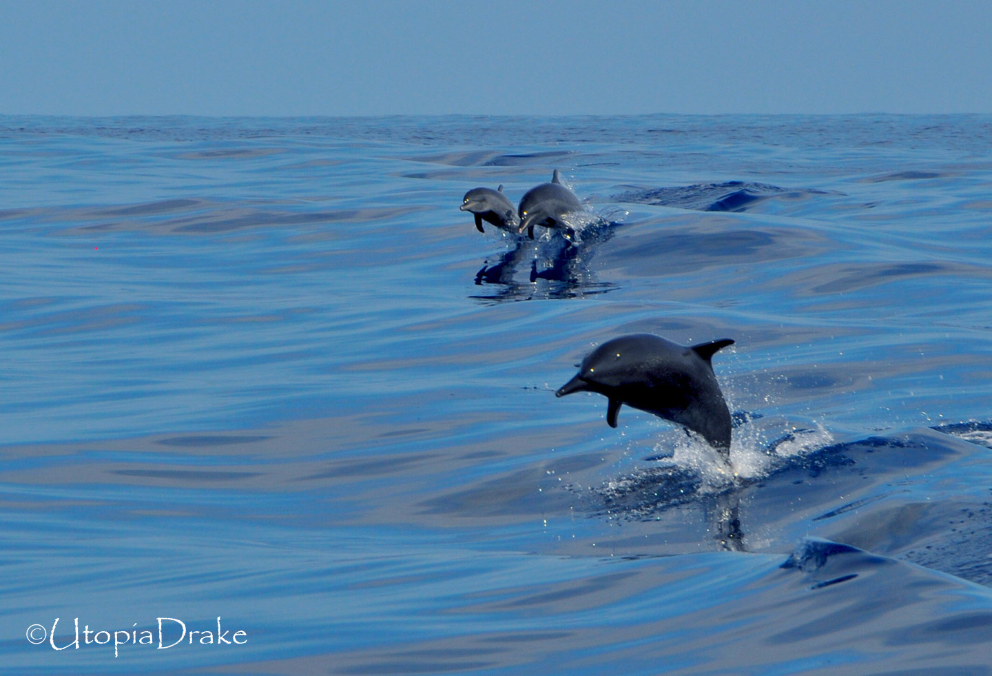 Dolphins in Drake Bay