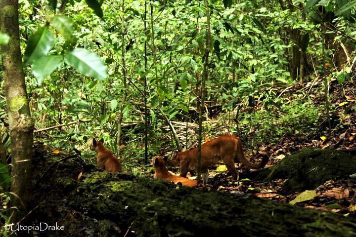 Pumas en Parque Nacional Corcovado