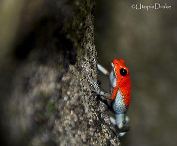 Dart frogs in night tour in Drake Bay