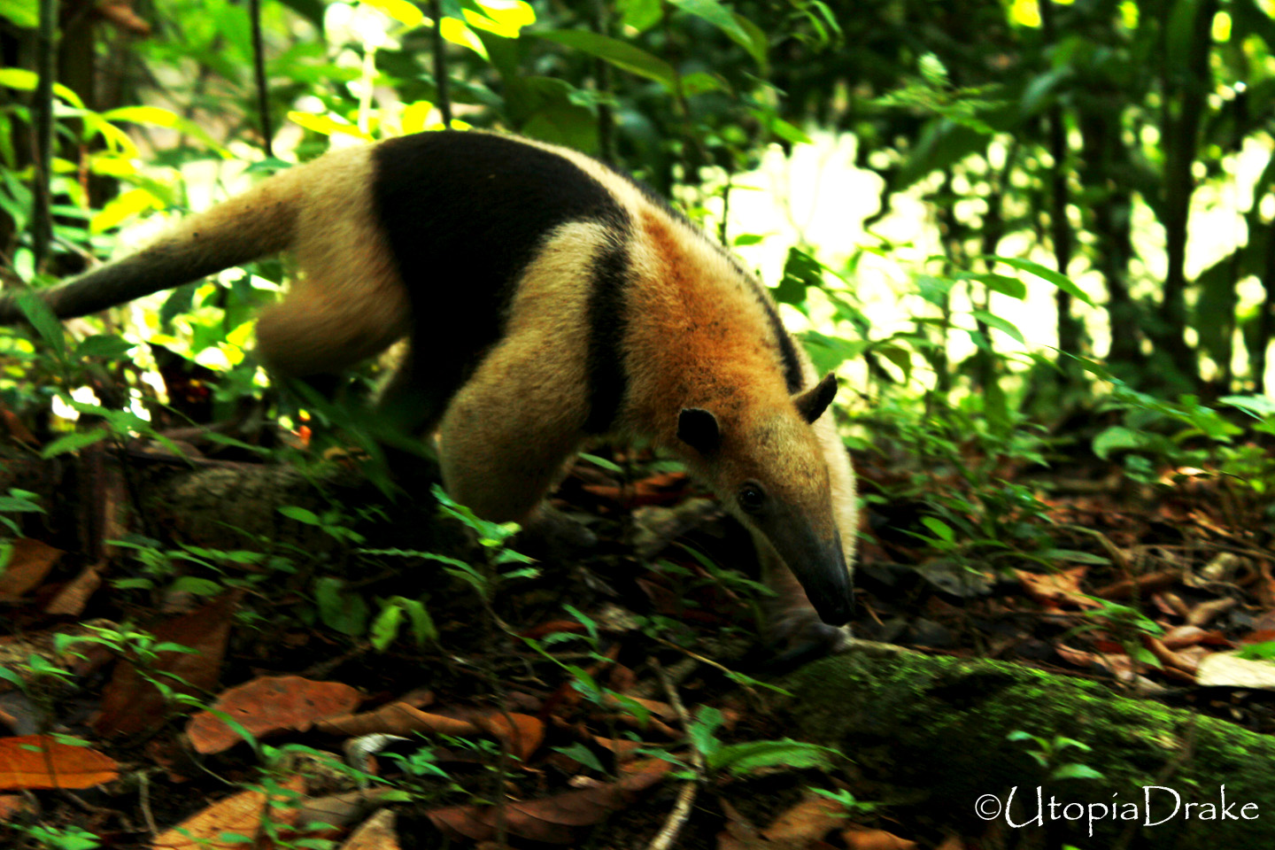 Anteater at Corcovado National Park