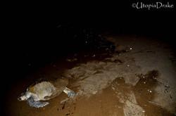 Proyecto de conservación de tortugas en Bahía Drake