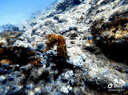 Seahorse scuba diving tour at Cano Island, Drake Bay.