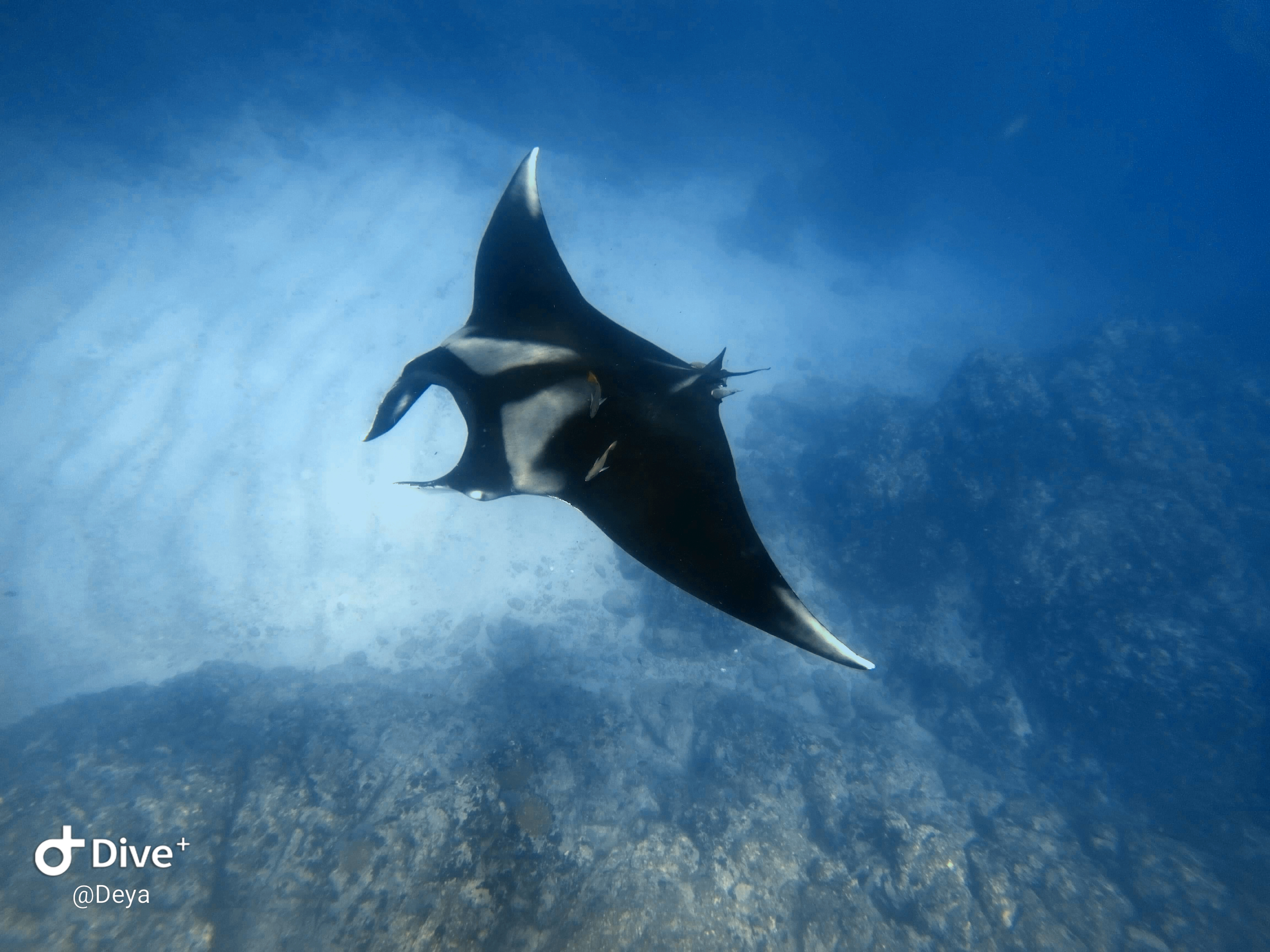 Manta in a Scuba diving tour at Cano Island, Drake Bay