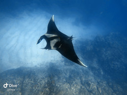 Manta during Scuba Diving at Cano Island, Drake Bay