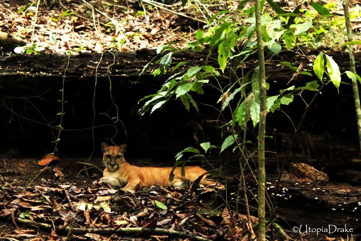 Puma at Corcovado National Park