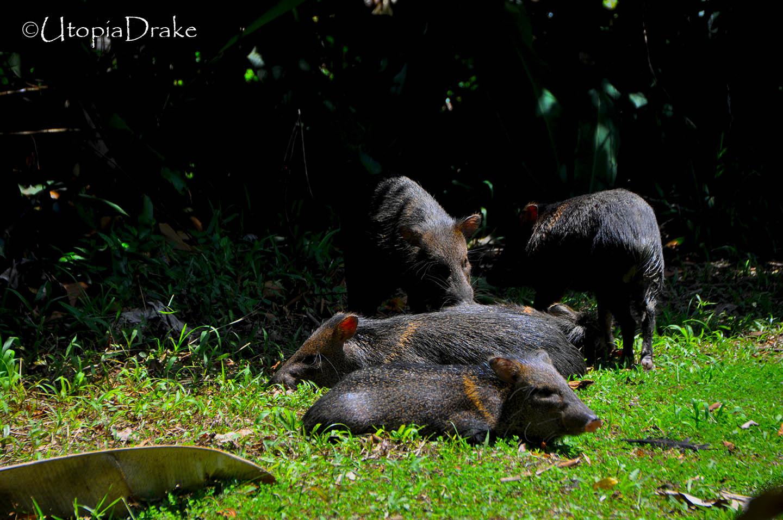 Zainos en Parque Nacional Corcovado