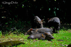 Wild pigs at Corcovado National Park