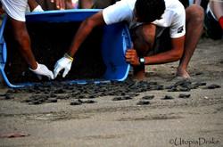 Proyecto conservación de tortugas en Bahía Drake