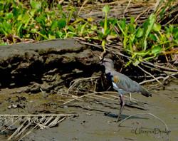 Tour de manglar en Bahía Drake