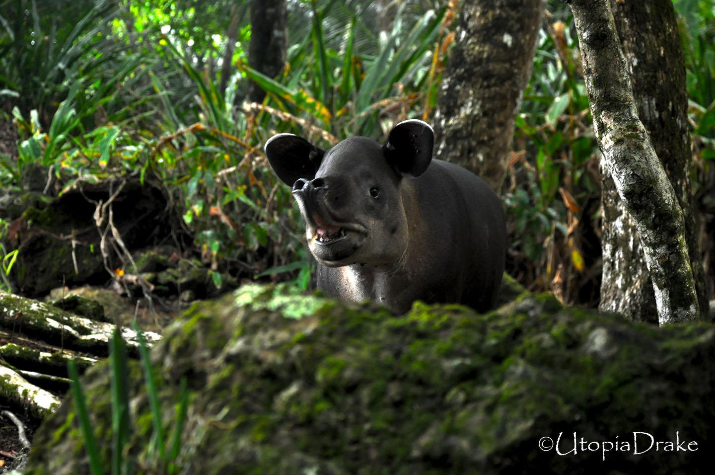 Tapir en Parque Nacional Corcovado