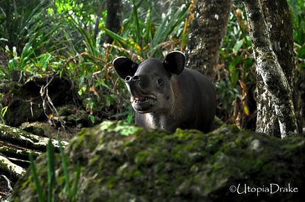 Tapir in Corcovado National Park tour