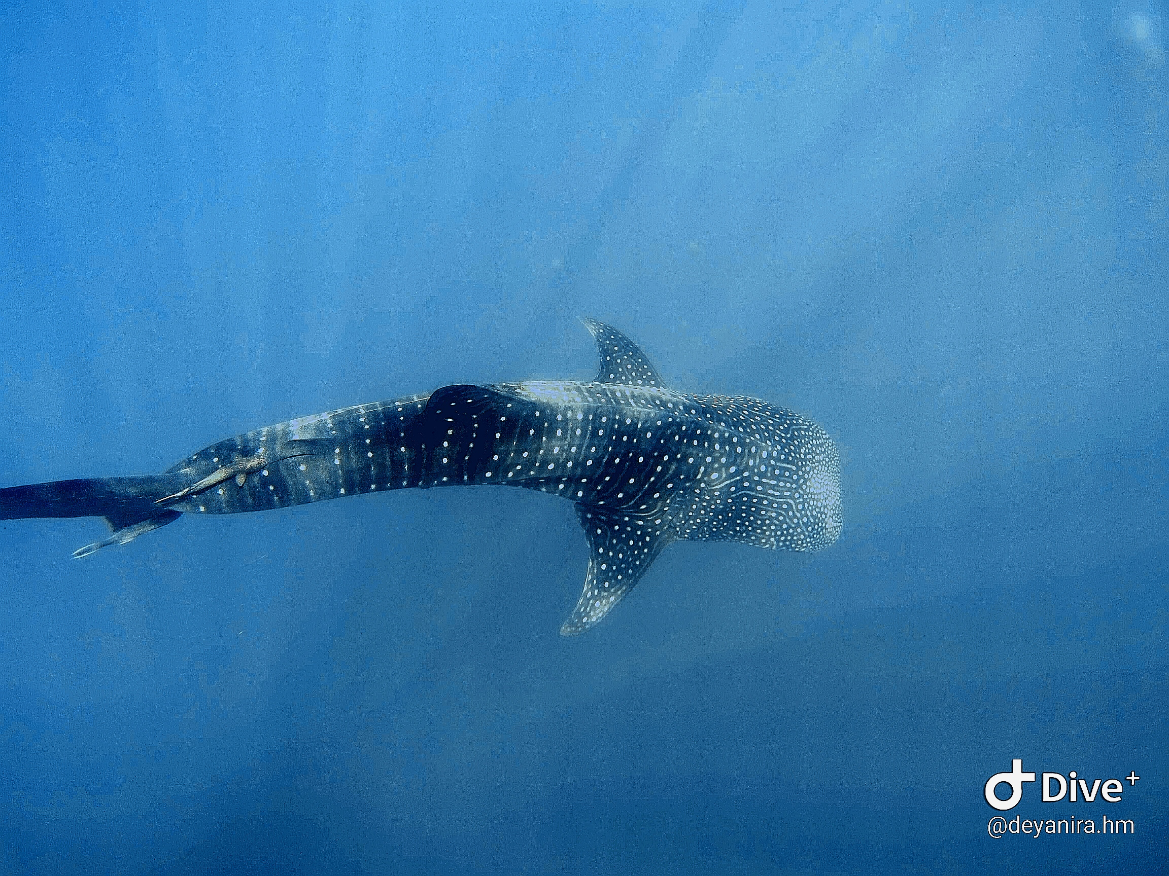 Whale shark in a Scuba diving tour at Cano Island, Drake Bay