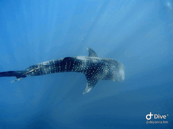 Whale shark during scuba diving tour at Cano Island, Drake Bay