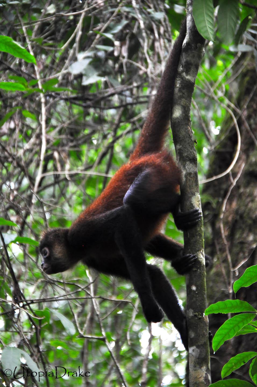 Mono araña en Parque Nacional Corcovado