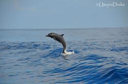 Delfín en tour de snorkeling en Isla del Caño, Bahía Drake