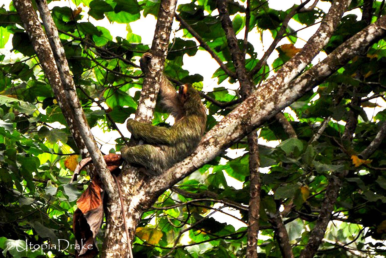 Perezoso en Parque Nacional Corcovado