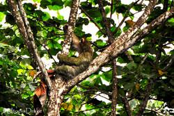 Sloth at Corcovado National Park