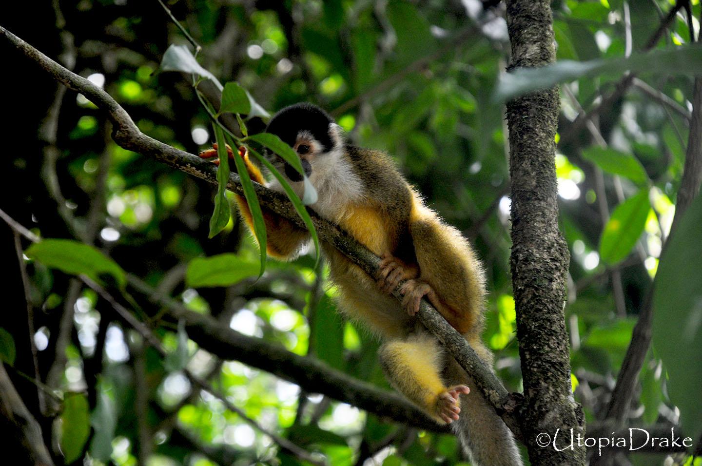 Mono ardilla en Parque Nacional Corcovado