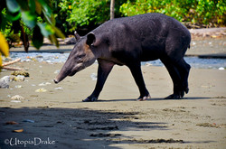 Tapir at Corcovado National Park