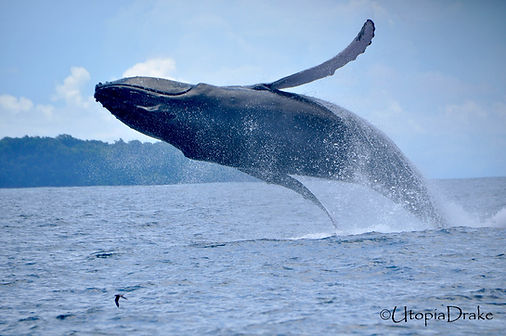 Whales tour in Drake Bay Costa Rica