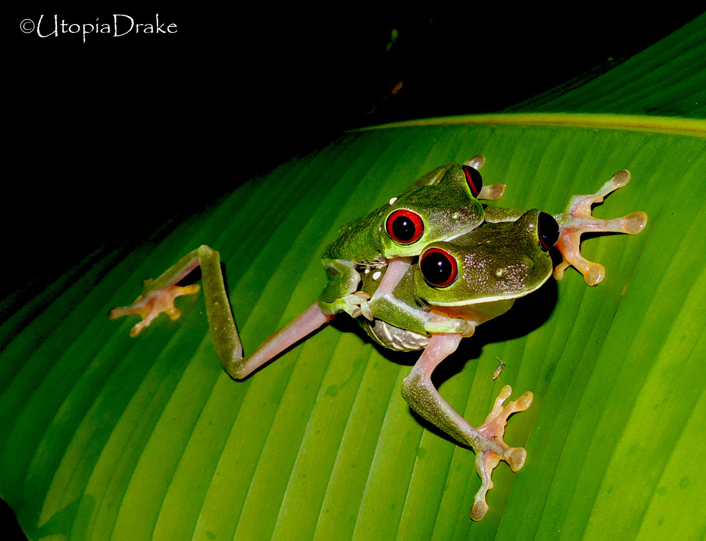 Red eyed frog in Drake Bay