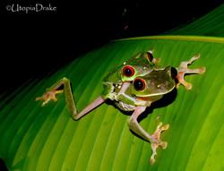 Red eyed frog in Drake Bay
