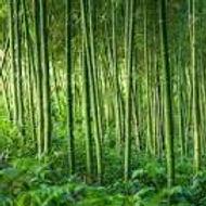 Bamboo, Levanto's pride and joy