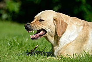 The Labrador Roxie baring her fangs