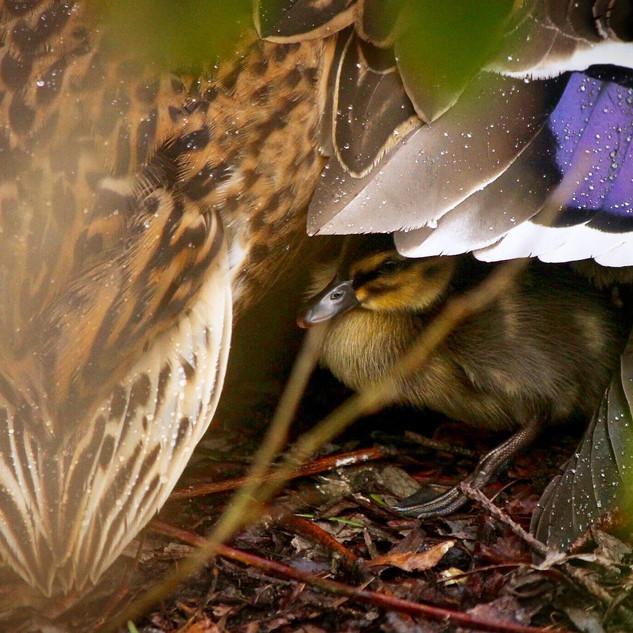Duckling shelter