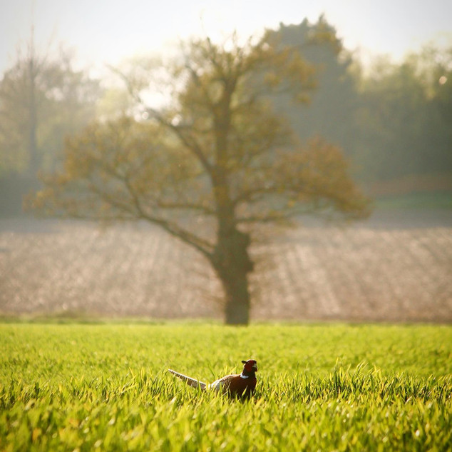 Pheasant in the fields