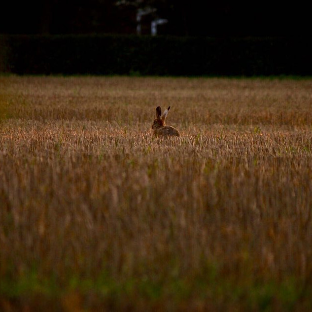Hare in the wheat stubble
