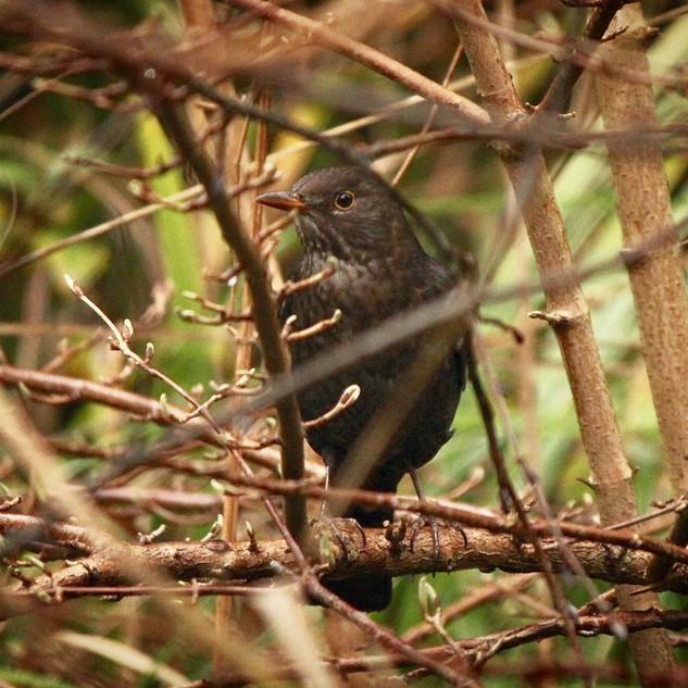Blackbird fledge