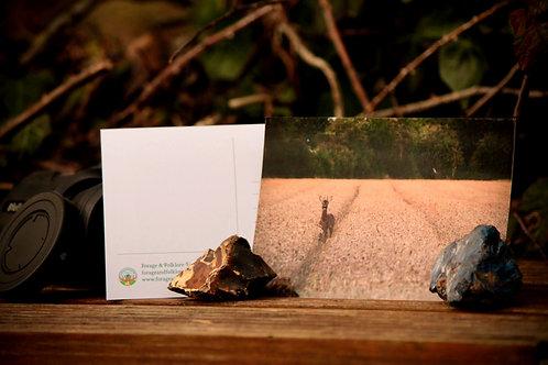 Roe Buck Postcard
