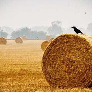 Harvest crow