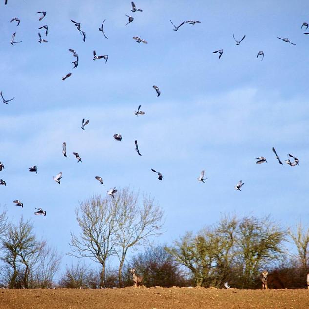 Roe Deer and Wood Pigeons