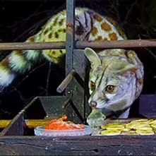 Large-spotted genet / Cape genet