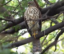 Little sparrowhawk