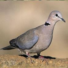 Ring-necked dove / Cape turtle dove