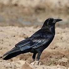 Cape crow / Black crow