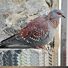 Speckled pigeon / African rock pigeon