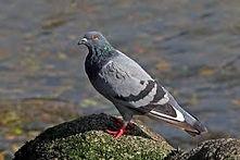 Rock dove / Common pigeon