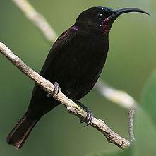 Amethyst/Black sunbird