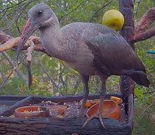 Hadeda ibis / Hadada ibis
